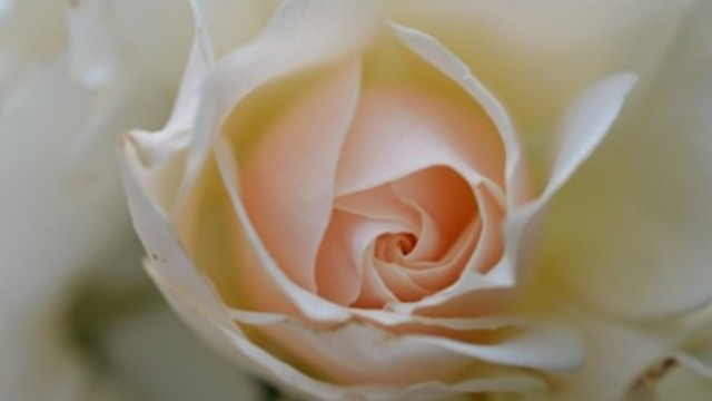 rose_white_rose_flower_216547